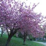 満開の八重桜は存在感がありました