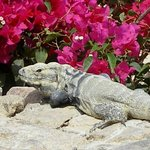 Resident Iguana relaxing near one of the pools