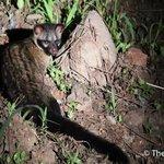 塔繽保護區的麝貓(Civet)