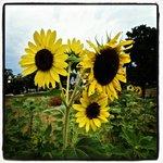 Sunflower in Wangari Garden