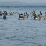 Pelicans sharing our beach in San Blas