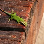 Friendly geckos around