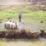 Working sheep dog