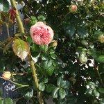 Pretty Pierre du Ronsard rose.