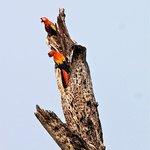 Wild Scarlet Macaws