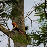 Second sighting, male macaw guarding next