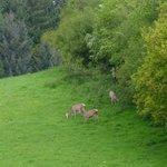 Deer in Adjoining Field