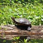Turtle sunning itself