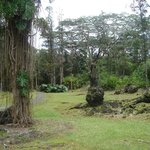 Trees and Lava Trees