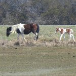 Pony and foal from the northern herd