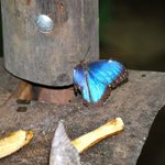 Blue Morpho Butterfly <3