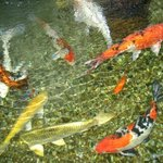 Fish in their Koi Pond.