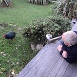 Takahe on the lawn