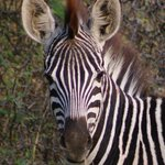 Zebra we saw on safari
