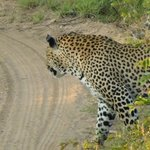 Leopard we saw on safari