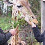Feeding the giraffe's