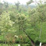 Tea estates belong to Pedro Estate