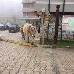 vaques a Montarto