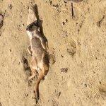 Sunbathing meerkat :)