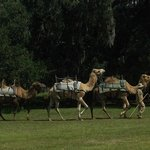 here come the camels
