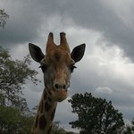 lovely giraffe waiting for a cabbage leaf