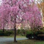 Pink weeping Cherries