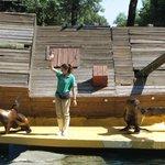 Sea lions show