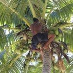 Вот так рвут кокосы