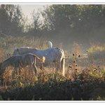 Les chevaux et héron