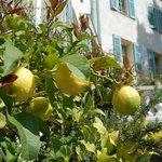 Pianta di limoni in giardino