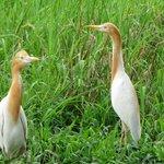 Petulu White Herons