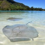 Sting rays in the water at the private motu, people are padding and feeding them.