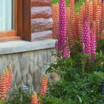 Window and Lupinus