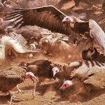 Daily Vulture Feeding at Vic Falls Safari Club