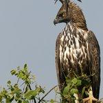 Changeable Hawk Eagle at Bundala