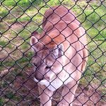 Mountain Lion (Bobcat)