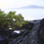 iguana heading to sea