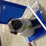 Pug on the beach