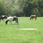 Gorgeous miniature horses