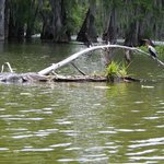 A gator on the left and a bird on the right.