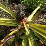 Pineapple plot in the forested hills