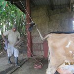 The morning cow milking