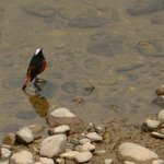 white capper water redstart in the river near the rest house