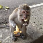 Cute Monkey loving his bananas at the monkey forest