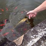 Huge fish in the pond!