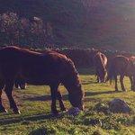 Wild ponies graze in the Valley of the Rocks