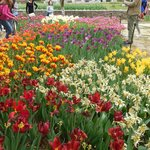 Tulip and daffodil beds at the Botanical Gardens