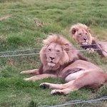 Lions in rehabilitation centre