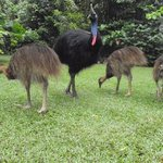 Cassowary frequently visit