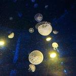 Baby jellyfish - less than 2cm across